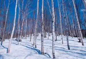 Decorte white birch extract